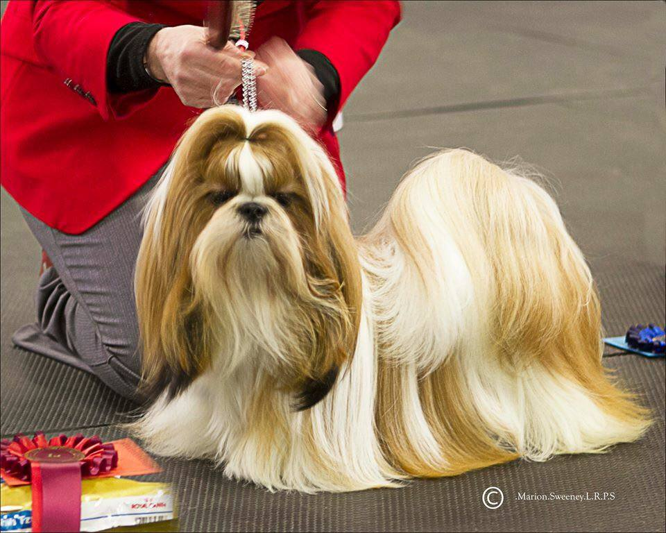 Shih Tzu Club Breed Database Information Card For Ch Miracey