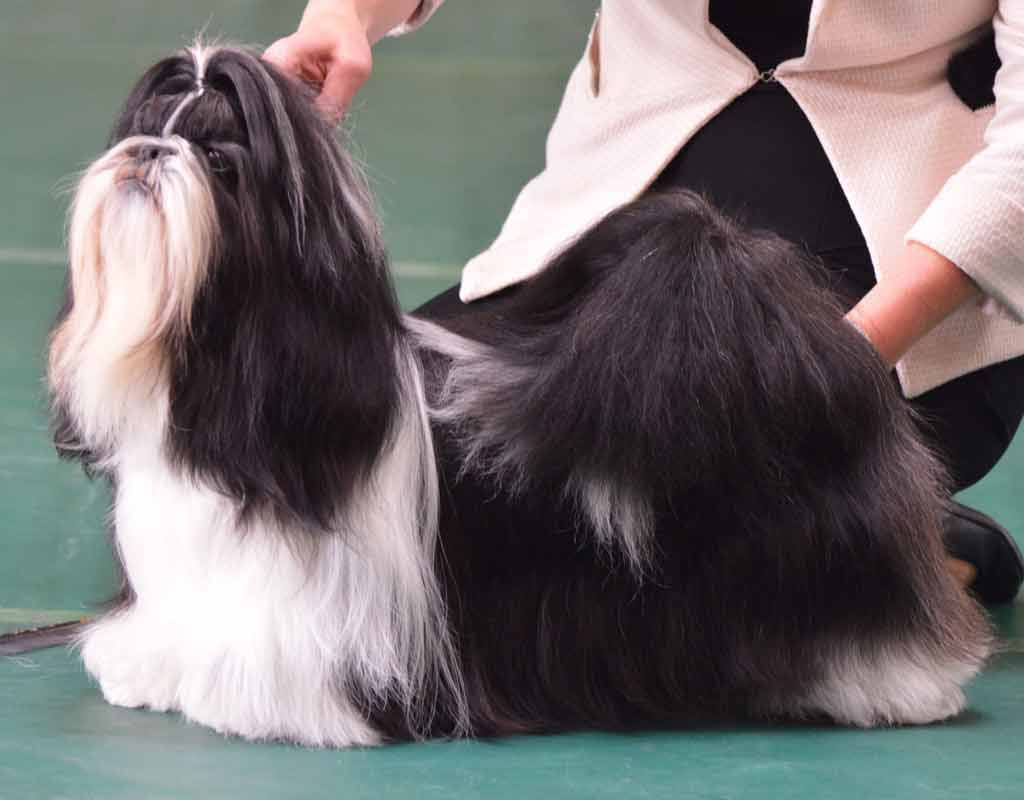 Shih Tzu Club Breed Database Shows And Results
